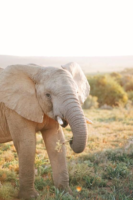 Claire Eliza – South African Elephant – Bukela Lodge – Amakhala Game Reserve